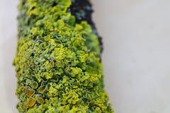 Feche acima do tiro macro do musgo e do líquene em um ramo de árvore Fotos de Stock Royalty Free