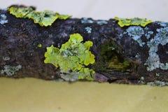 Feche acima do tiro macro do musgo e do líquene em um ramo de árvore Foto de Stock