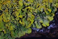 Feche acima do tiro macro do musgo e do líquene em um ramo de árvore Imagem de Stock Royalty Free