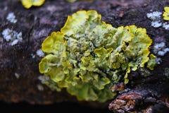 Feche acima do tiro macro do musgo e do líquene em um ramo de árvore Imagem de Stock