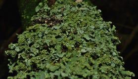 Feche acima do tiro macro do líquene verde - Reino Unido imagens de stock