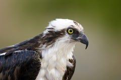 Feche acima do tiro principal de um Osprey imagens de stock royalty free