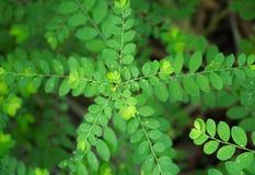 Feche acima do tiro do vendaval do stonebreaker ou da semente-sob-folha do vento Niruri de Phyllanthus com base na floresta em um imagem de stock royalty free