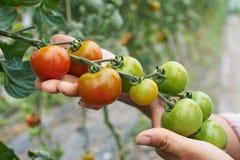 Feche acima do trabalhador agrícola fêmea que verifica plantas de tomate dentro imagem de stock royalty free