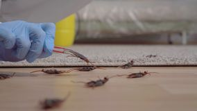 Feche acima do trabalhador do controlo de pragas examina um besouro inoperante filme