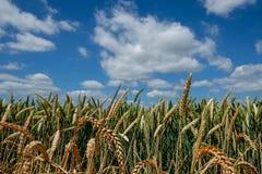 Feche acima do trigo em um campo contra um céu azul Imagens de Stock