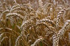 Feche acima do trigo no campo Imagens de Stock