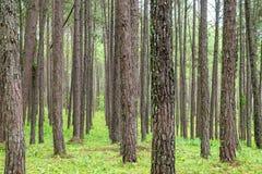 Feche acima do tronco da textura na floresta do pinho Imagem de Stock