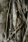 Feche acima do tronco de árvore da raiz para um fundo Fotos de Stock