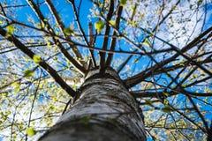 Feche acima do tronco do vidoeiro situado em um fundo do birchwood Fotos de Stock Royalty Free