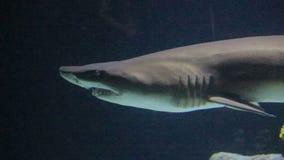Feche acima do tubarão de tigre da areia filme