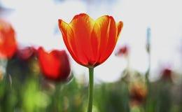 Feche acima do tulip Imagens de Stock