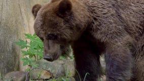 Feche acima do urso de Brown selvagem que anda livre através das árvores e das plantas na floresta filme