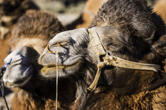 Feche acima do vale Ladakh de Nubra da cara do camelo, Índia fotos de stock royalty free