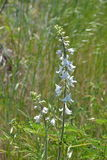 Feche acima do wildflower branco alto Fotos de Stock Royalty Free