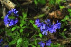 Feche acima do wildflower do flox fotografia de stock royalty free