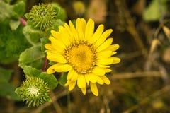 Feche acima do wildflower do Grindelia, Califórnia imagens de stock