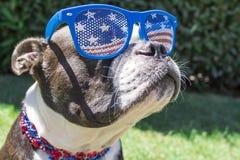 Feche acima dos óculos de sol vestindo da bandeira dos Estados Unidos do cão de Boston Terrier no quarto de Imagens de Stock