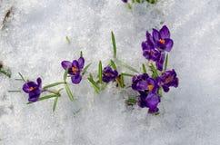 Feche acima dos açafrões violetas da primeira mola na neve Foto de Stock