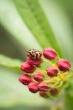 Feche acima dos besouros que produzem na semente vermelha Imagens de Stock