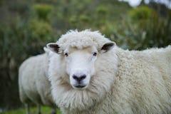 Feche acima dos carneiros de merino na fazenda de criação de Nova Zelândia fotografia de stock