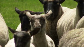 Feche acima dos carneiros em Nova Zelândia que está sendo reunida pelo cão filme