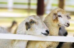 Feche acima dos carneiros na exploração agrícola dos carneiros Imagem de Stock Royalty Free