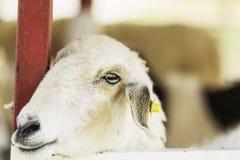 Feche acima dos carneiros na exploração agrícola dos carneiros Fotografia de Stock Royalty Free