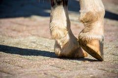 Feche acima dos cascos claros de um cavalo ereto fotos de stock royalty free