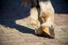 Feche acima dos cascos claros de um cavalo ereto fotos de stock
