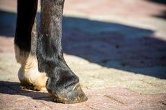 Feche acima dos cascos claros de um cavalo ereto fotografia de stock