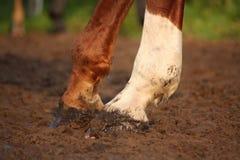 Feche acima dos cascos do cavalo da castanha Foto de Stock Royalty Free