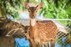 feche acima dos cervos no jardim zoológico Fotos de Stock Royalty Free