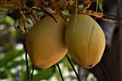 Feche acima dos cocos em uma floresta úmida Imagem de Stock Royalty Free