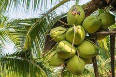 Feche acima dos cocos na árvore Fotografia de Stock