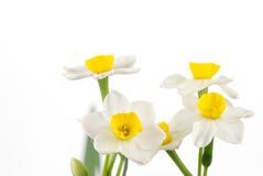 Feche acima dos daffodils brancos Imagens de Stock Royalty Free