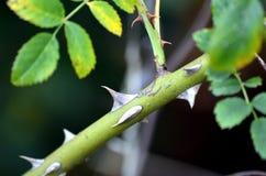 Feche acima dos espinhos do rubiginosa de Briar Rosa Imagem de Stock Royalty Free