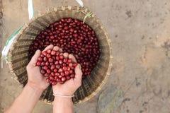 Feche acima dos feijões de café vermelhos das bagas Foto de Stock Royalty Free