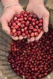 Feche acima dos feijões de café vermelhos das bagas Fotografia de Stock Royalty Free