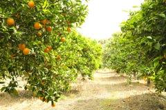 Feche acima dos frutos alaranjados perfeitos maduros orgânicos múltiplos que penduram em ramos de árvore em fazendeiros locais do fotos de stock royalty free