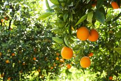 Feche acima dos frutos alaranjados perfeitos maduros orgânicos múltiplos que penduram em ramos de árvore no jardim local dos faze Fotos de Stock
