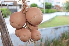 Feche acima dos frutos da árvore da bala de canhão fotografia de stock royalty free