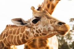 Feche acima dos girafas em África Fotos de Stock Royalty Free