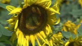 Feche acima dos girassóis com a vespa que voa ao redor no movimento lento vídeos de arquivo