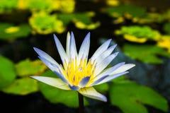 Feche acima dos lótus brancos de florescência pequenos na lagoa imagens de stock royalty free