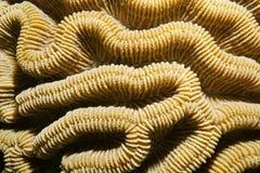 Feche acima dos natans de Colpophyllia do coral de cérebro do pedregulho Imagem de Stock