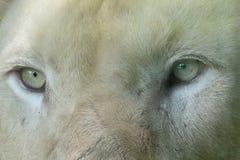 Feche acima dos olhos do leão branco imagem de stock