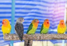 Feche acima dos pássaros pequenos do papagaio do periquito que empoleiram-se no ramo na gaiola Fotografia de Stock Royalty Free