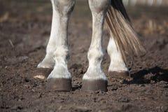Feche acima dos pés cinzentos do cavalo Foto de Stock