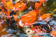 Feche acima dos peixes do koi na lagoa de peixes Imagens de Stock Royalty Free